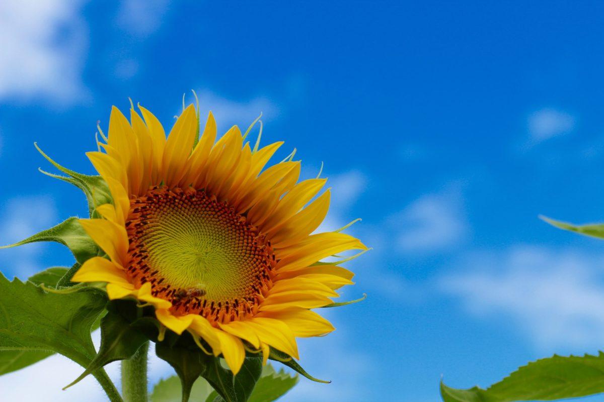 向日葵と7月の空