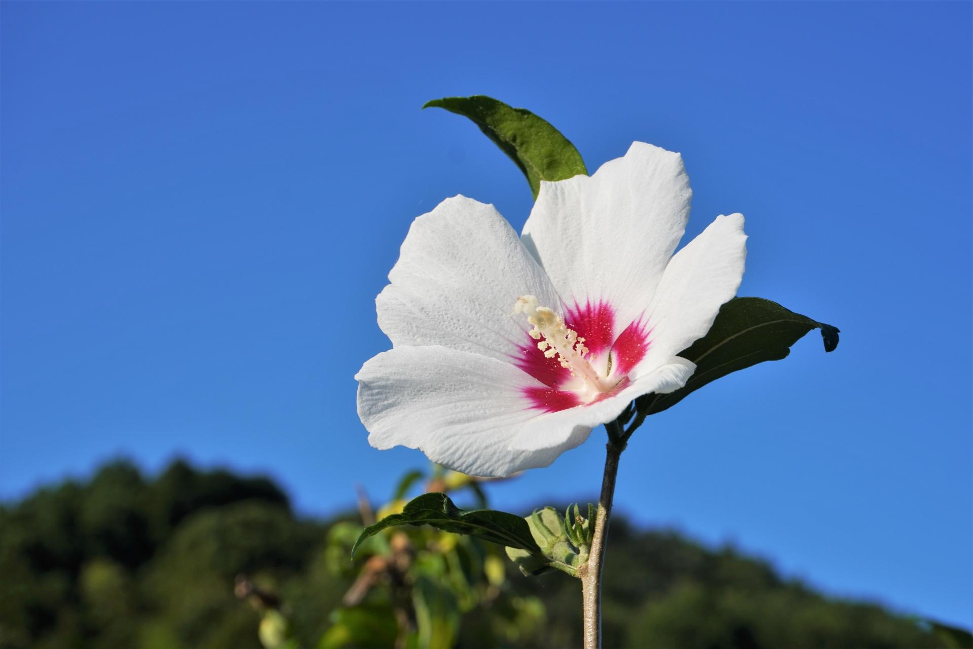 夏から秋にかけて咲く花 槿(むくげ)