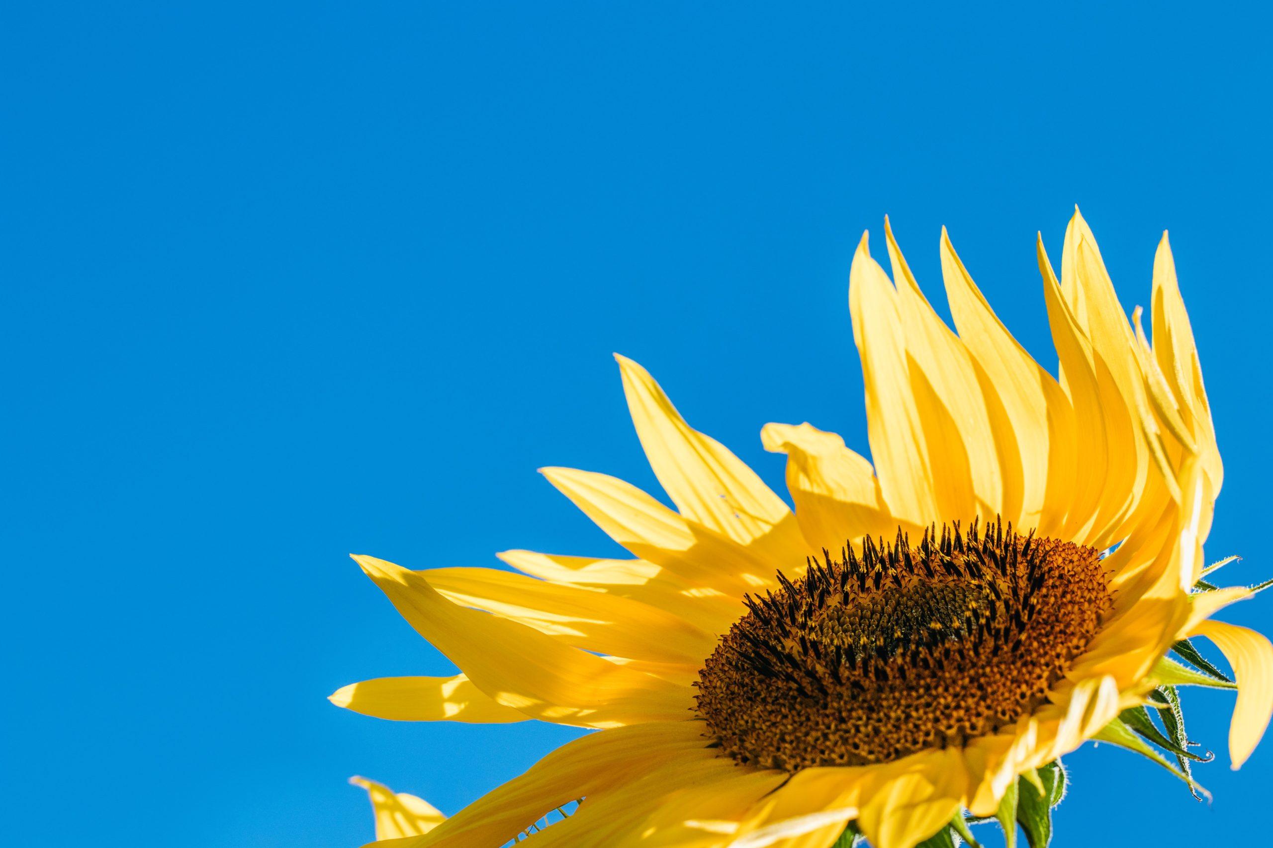8月の花 向日葵